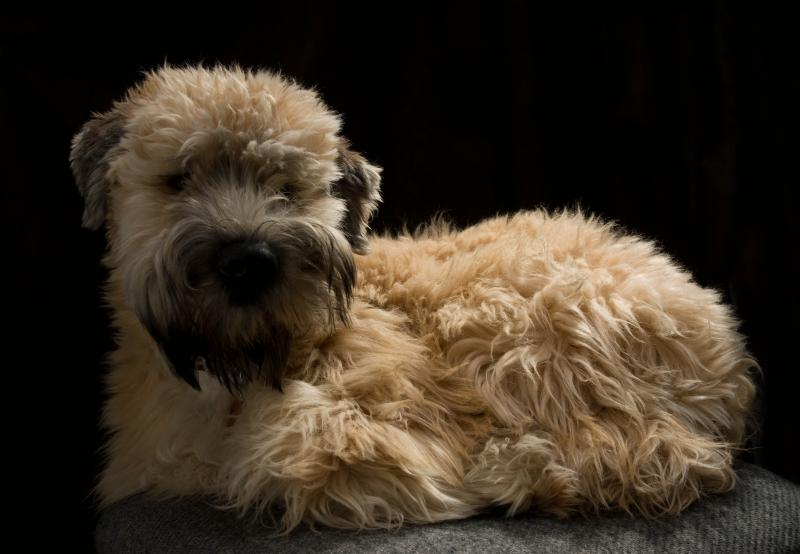 Difference Between Irish And American Wheaten Terriers