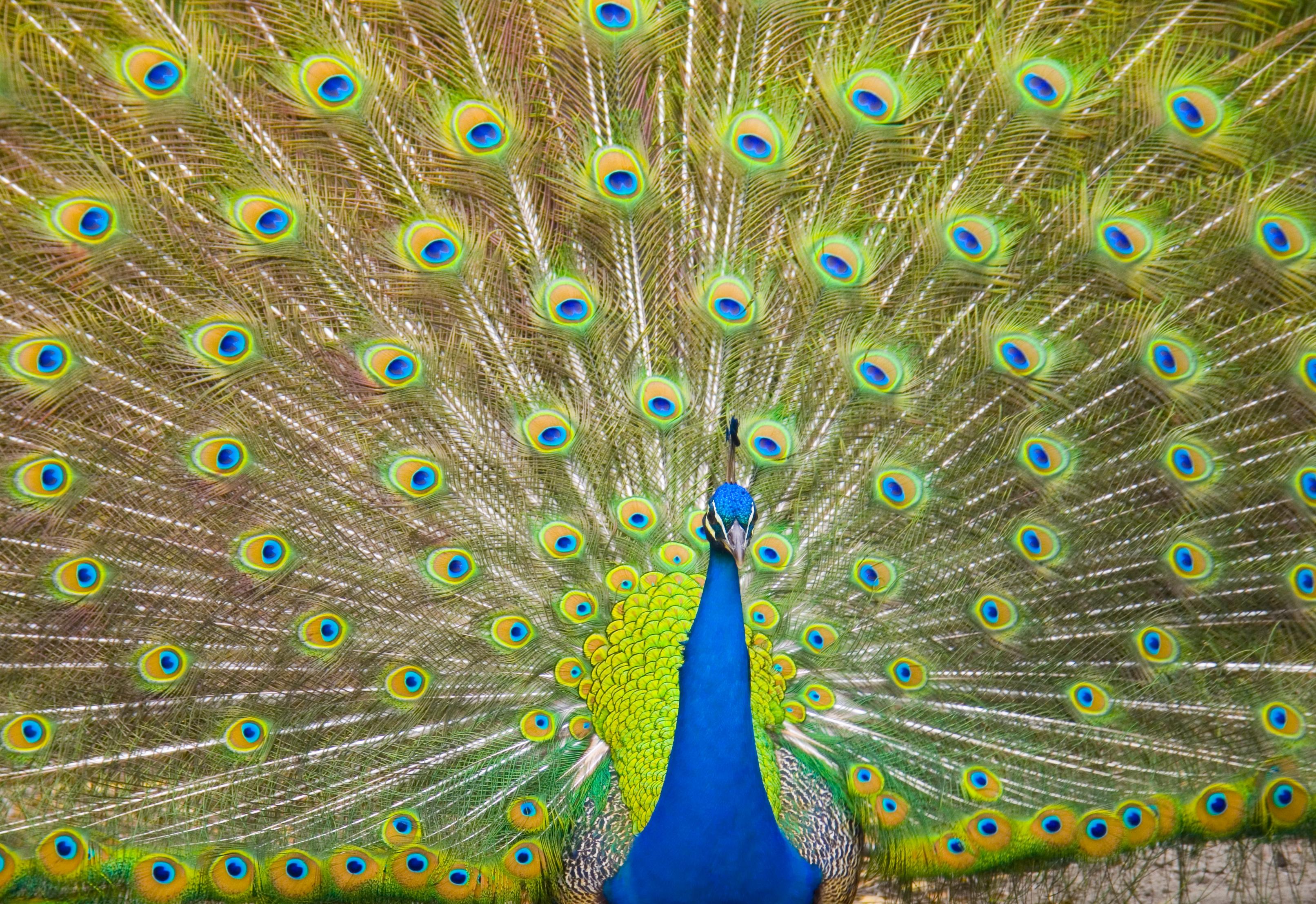 How Do Peacocks Mate?