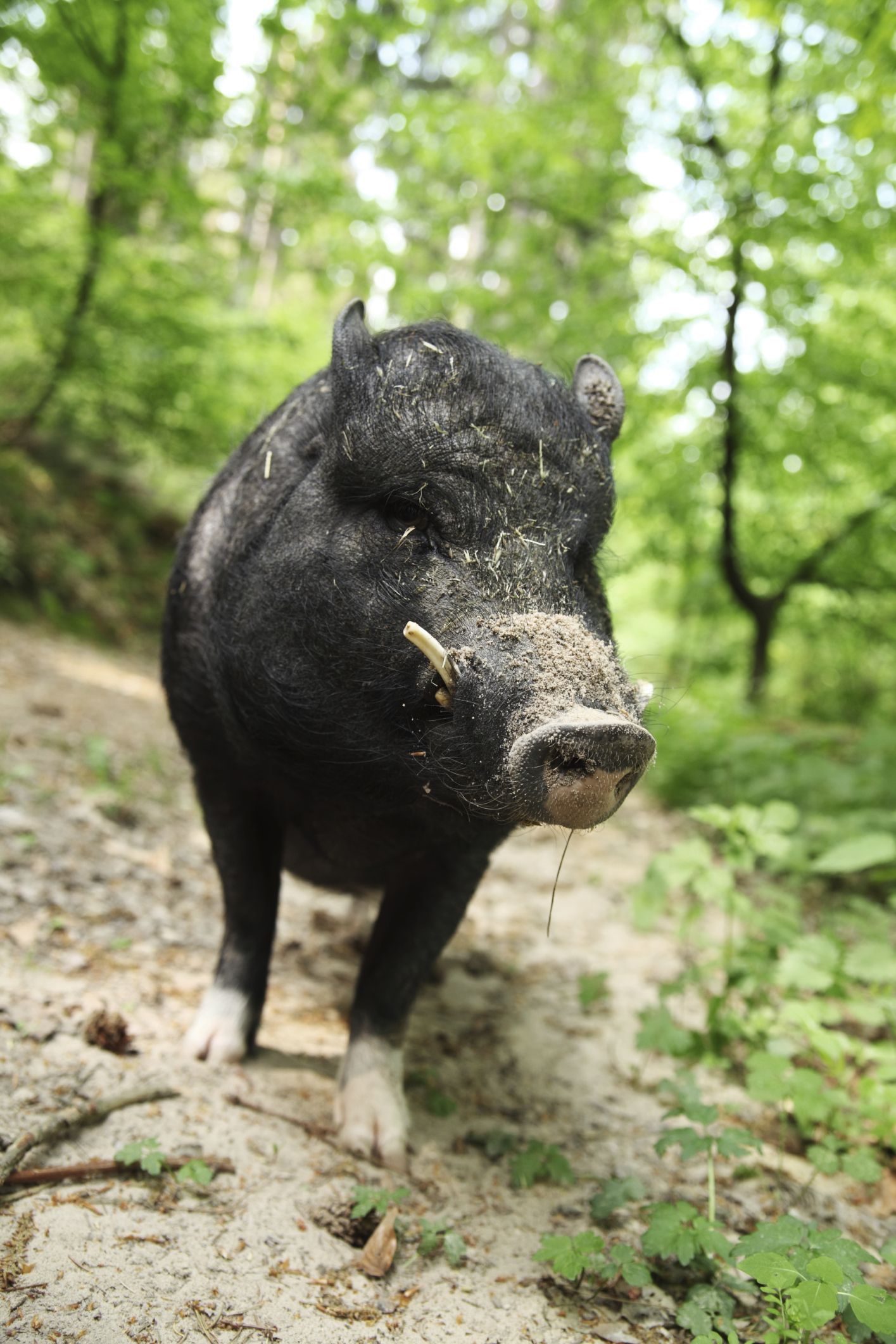 feral hogs Feral hogs are those that originated from domestic breeds but may be the result of a few or many, many generations in the wild in the us, the best descriptor is probably to refer to them simply as wild pigs.