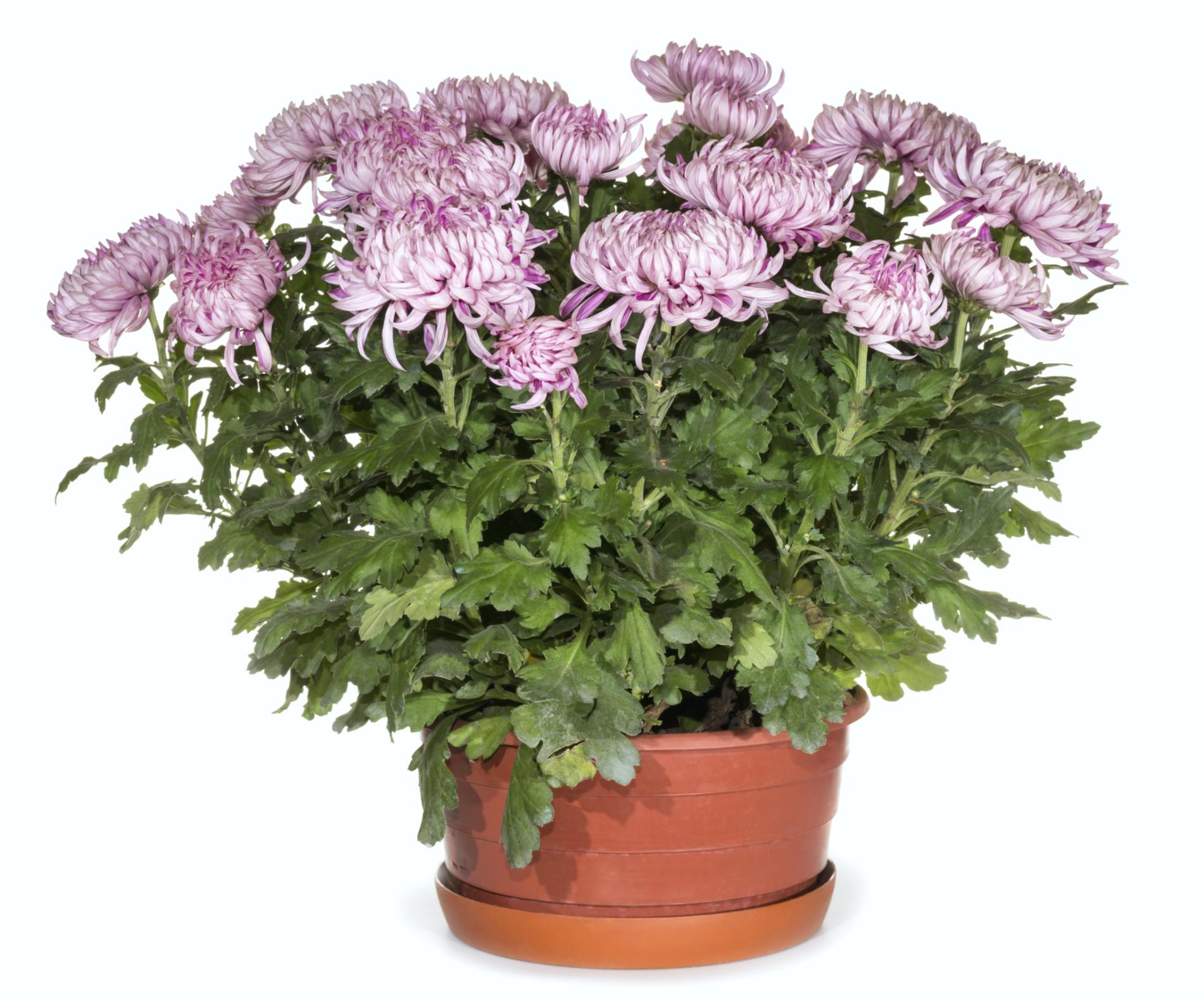 Хризантема. Уход за цветком в домашних условиях, фото 71
