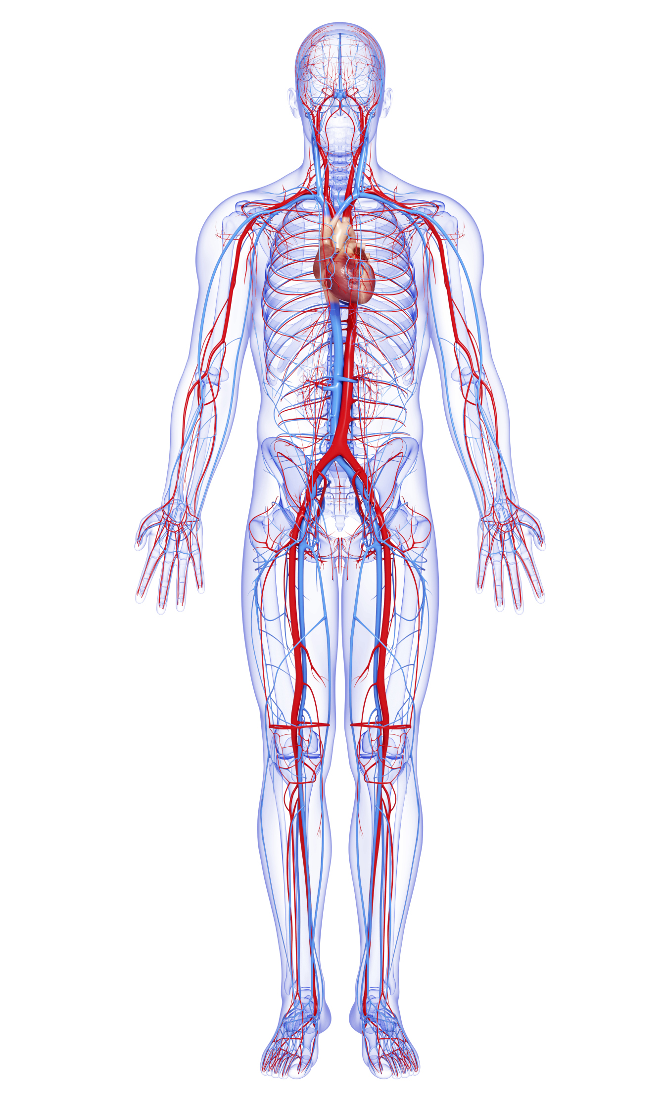 What Are The Largest Blood Vessels In The Body Livestrong