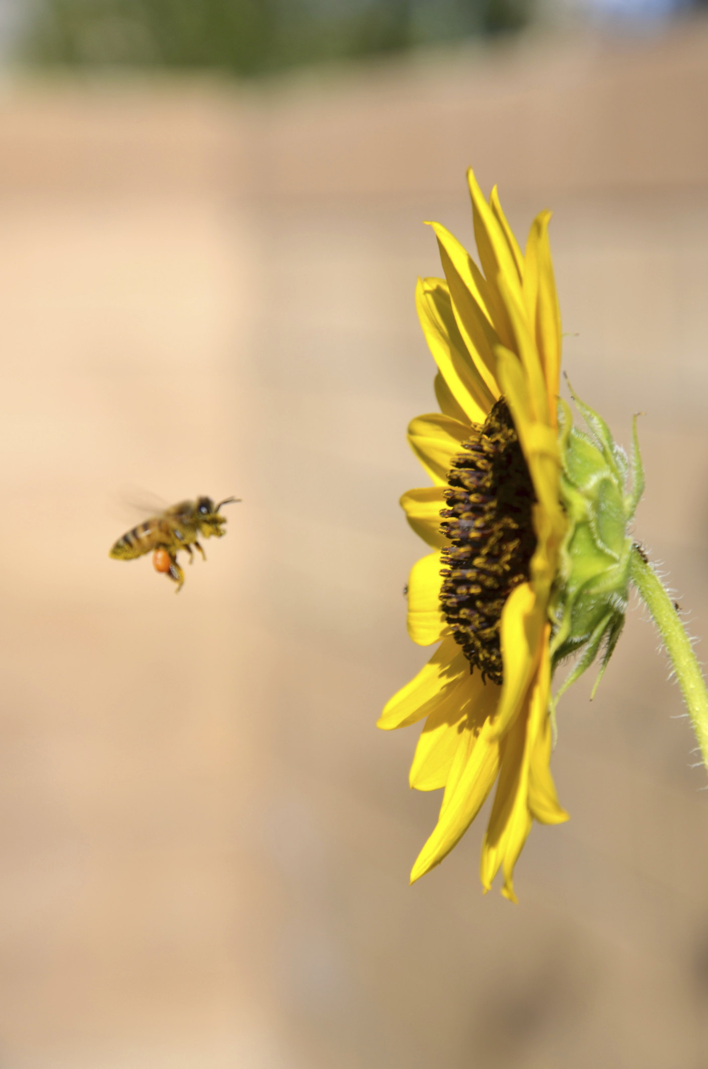 How to Get Rid of Mining Bees |