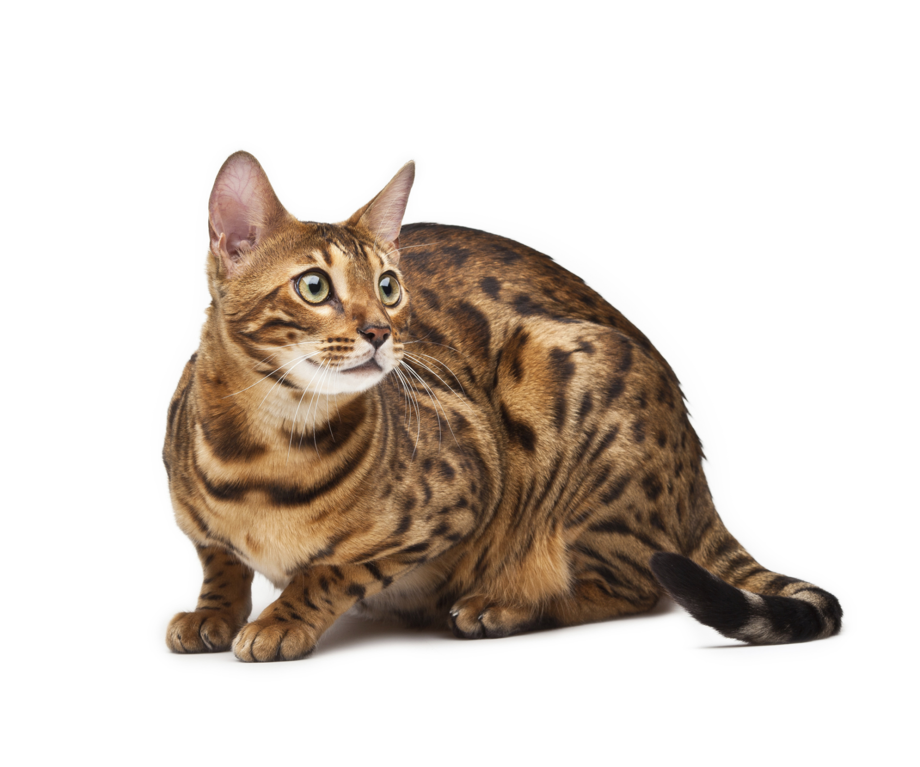 Information on a Bengal Cat