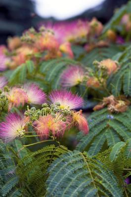 How To Keep A Baby Mimosa Tree Alive Indoors Home Guides