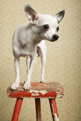 How Much Does a Full Grown Chihuahua Weigh? | Dog Care ...