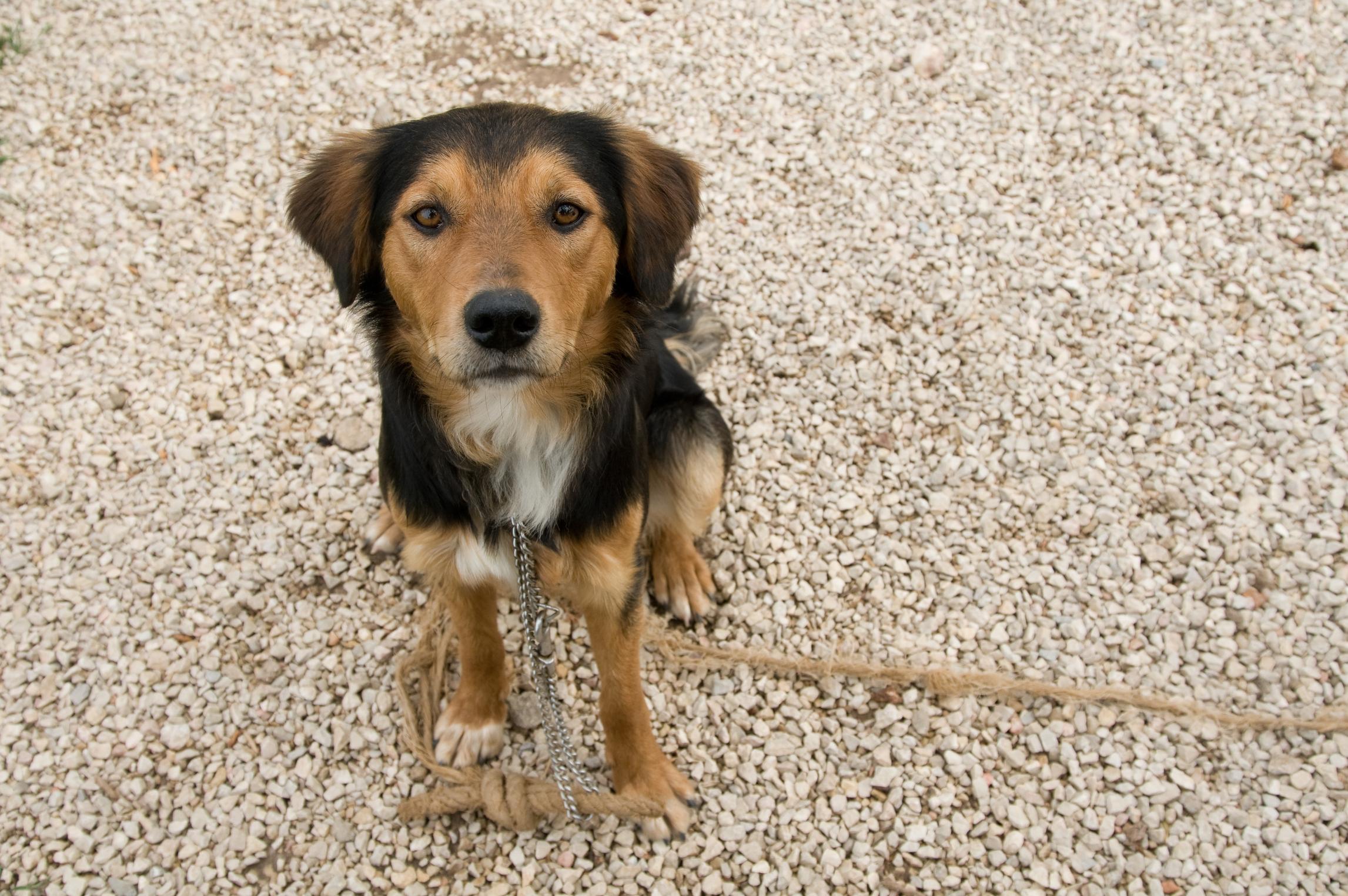 Dog Strangled By Collar