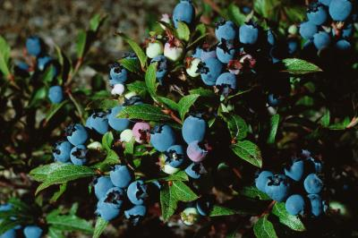 How Can I Plant My Blueberries Amp Make Them Grow Home