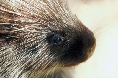 Porcupine quills in people