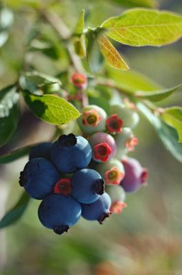 How To Identify Blueberry Bushes Home Guides Sf Gate