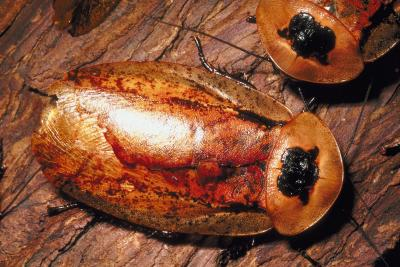 the characteristics of cockroaches a type of insect Insect sociality 1 objectives 2 1 describe the characteristics of subsocial and eusocial insect behavior 2  cockroaches termites crickets bees.