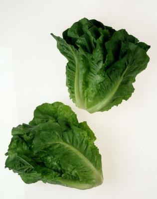 how to grow romaine lettuce at home