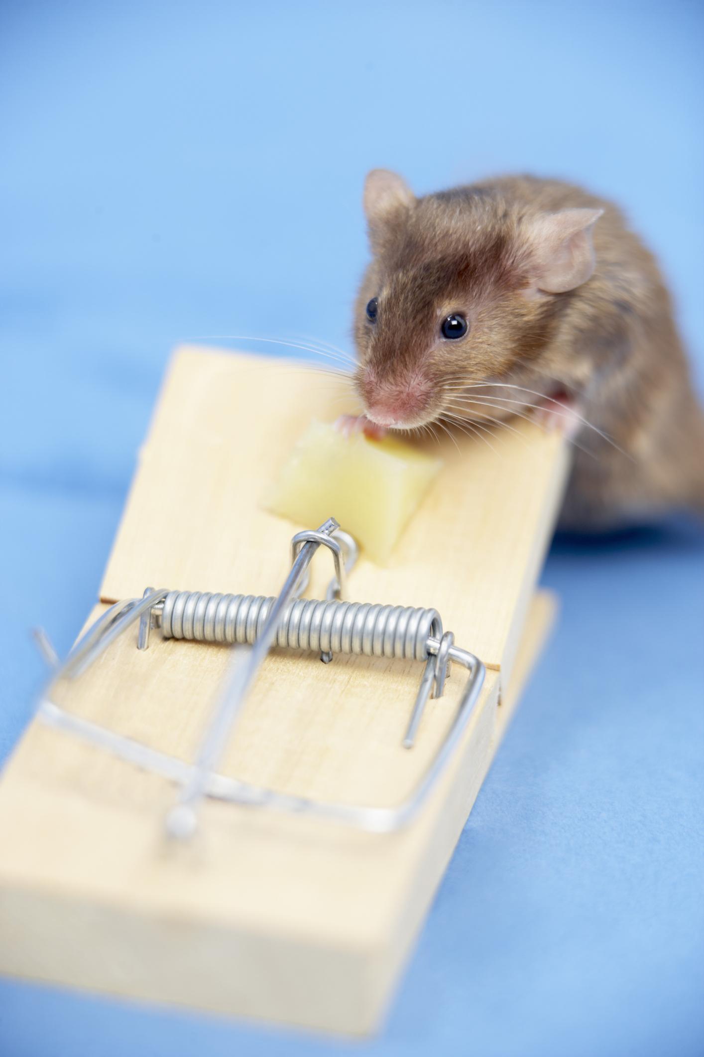 Cómo asustar a un ratón para que salga de su escondite en tu casa  