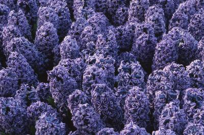The Lilac Festival In Emmett Michigan Getaway Tips