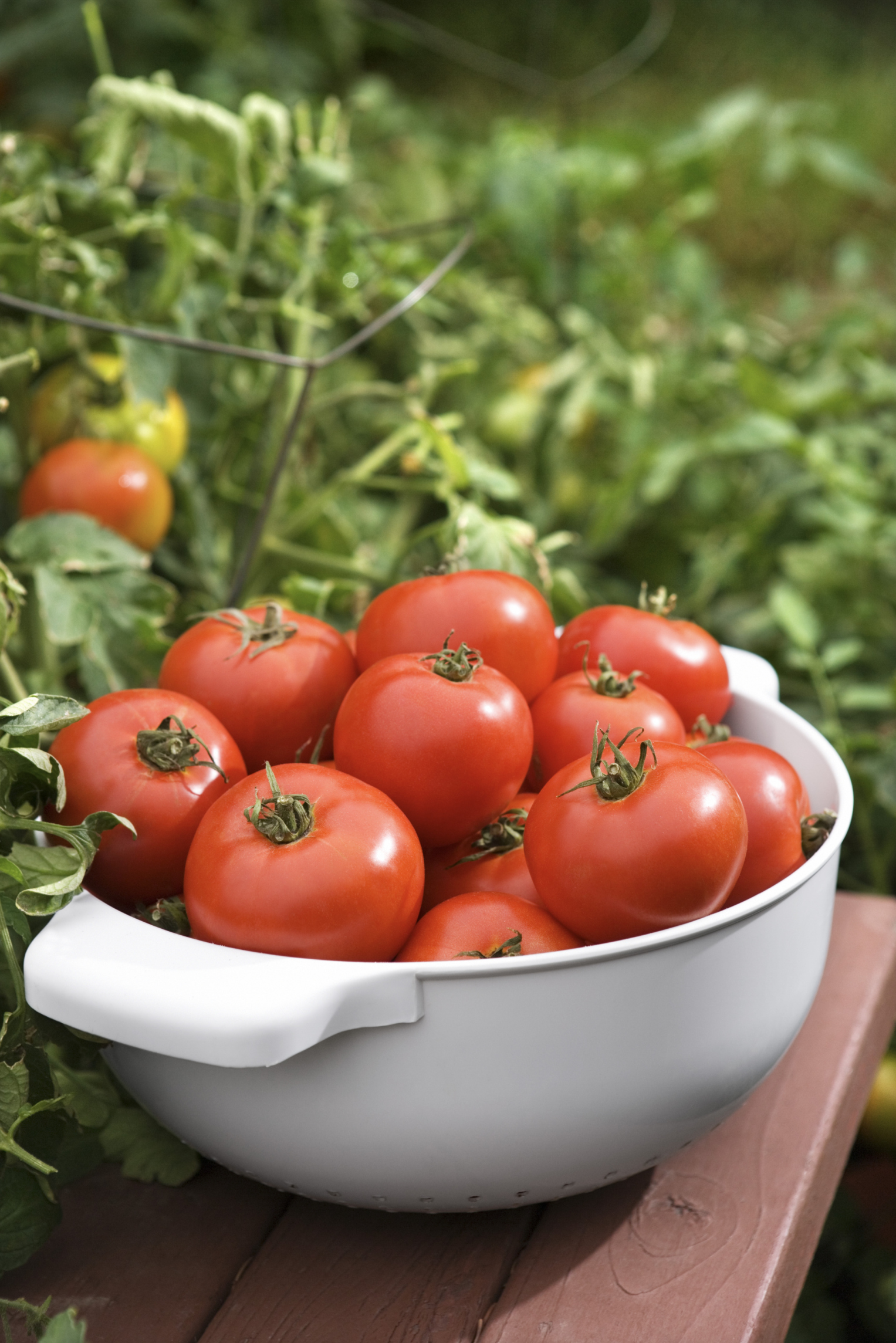 How much should you water tomato plants every day home - How often should you water your garden ...