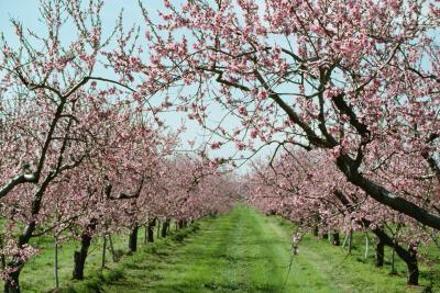 When Do Peaches Flower? | Home Guides | SF Gate