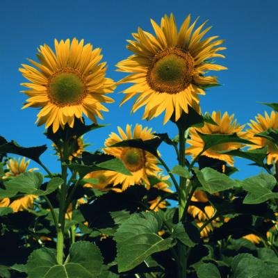 Phototropism In Sunflowers Home Guides Sf Gate