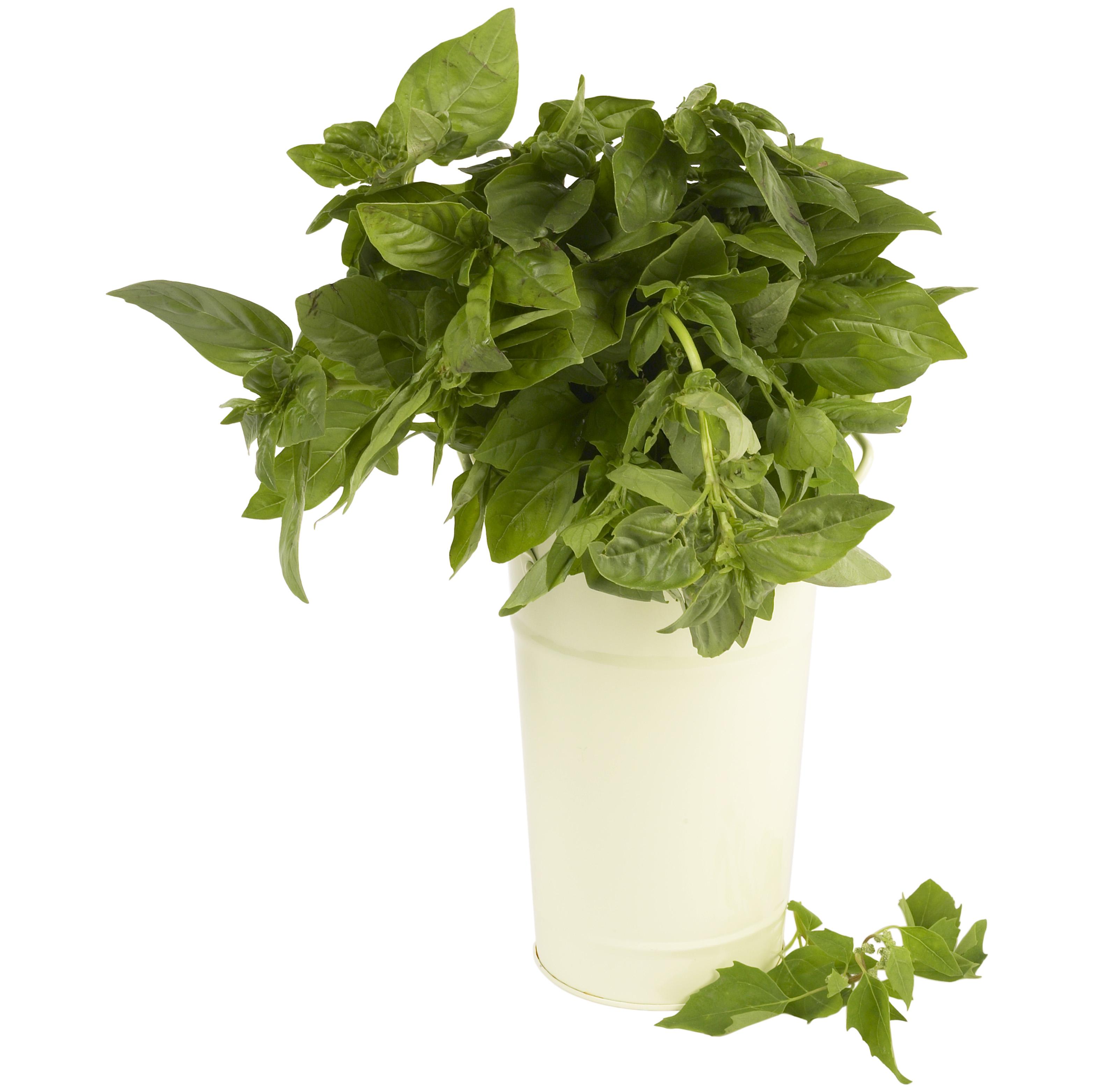 How to Brew Fresh Basil Tea   LEAFtv