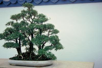 Training Dwarf Pomegranate Bonsai