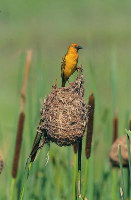 Male Birds Who Build Elaborate Nests Animals Mom Me