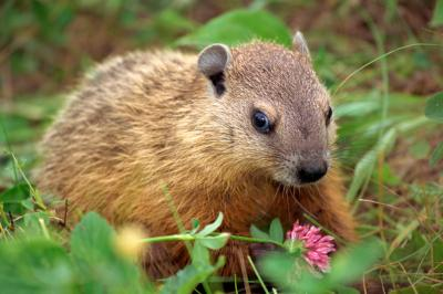 What Smells Do Woodchucks Hate Ehow Uk