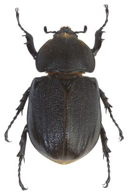 Large Black Beetles Found In Pennsylvania Ehow Uk