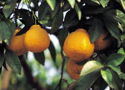 How to rid black mold from my lemon tree home guides for Can i grow a lemon tree from lemon seeds
