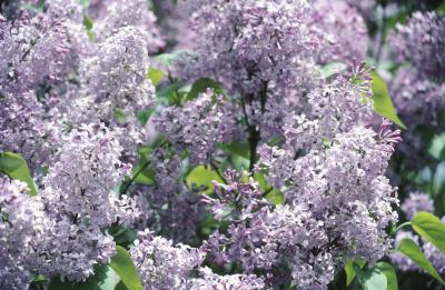 Care Of Persian Lilac Home Guides Sf Gate