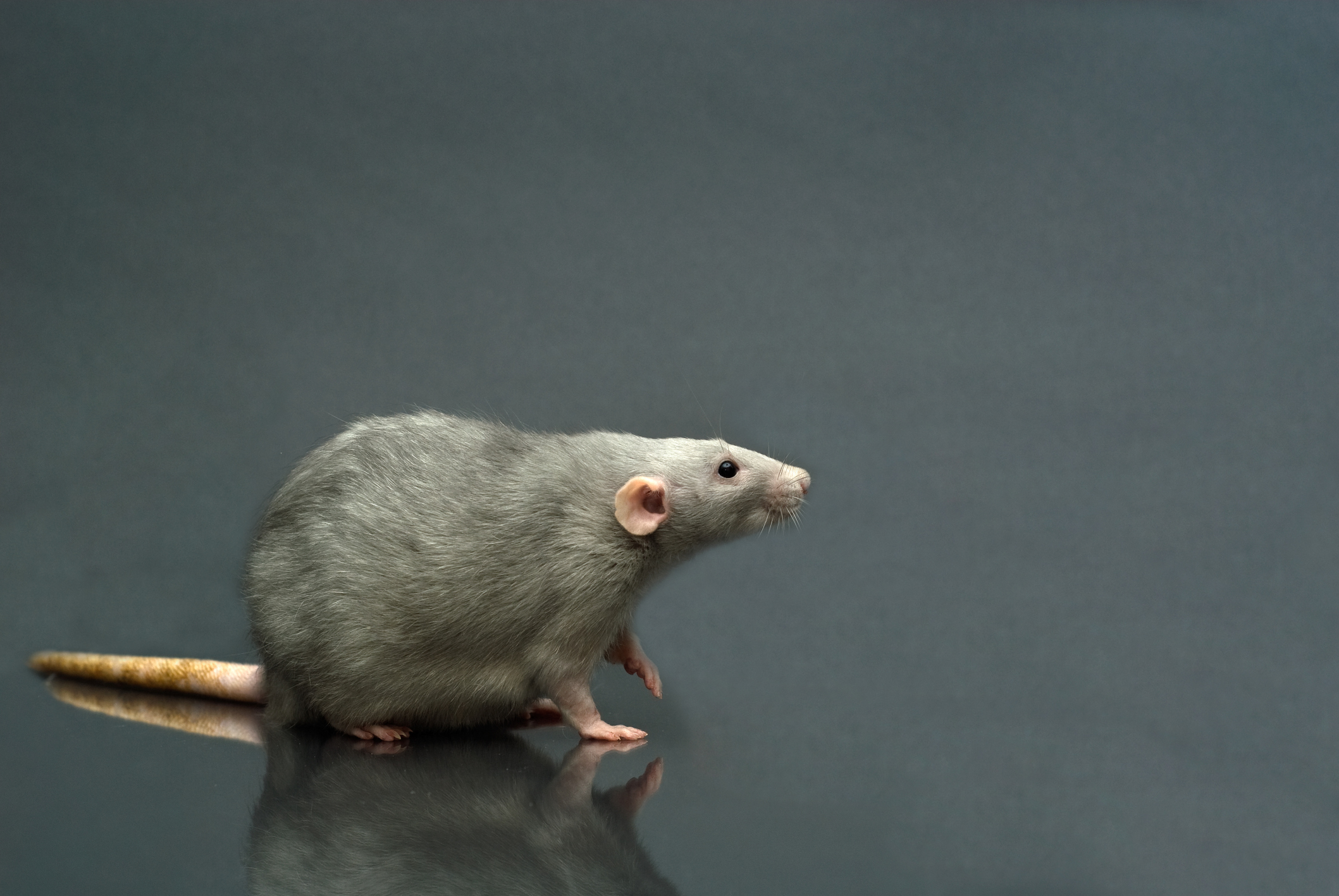 Can You Breed Mice For Snake Food