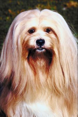 Lhasa Apso Haircuts