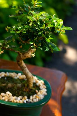 How to bonsai olive trees ehow uk for How to make an olive tree into a bonsai