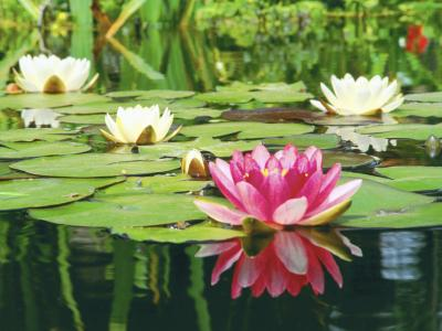 How to kill underwater plants in a pond home guides sf for Beneficial pond plants