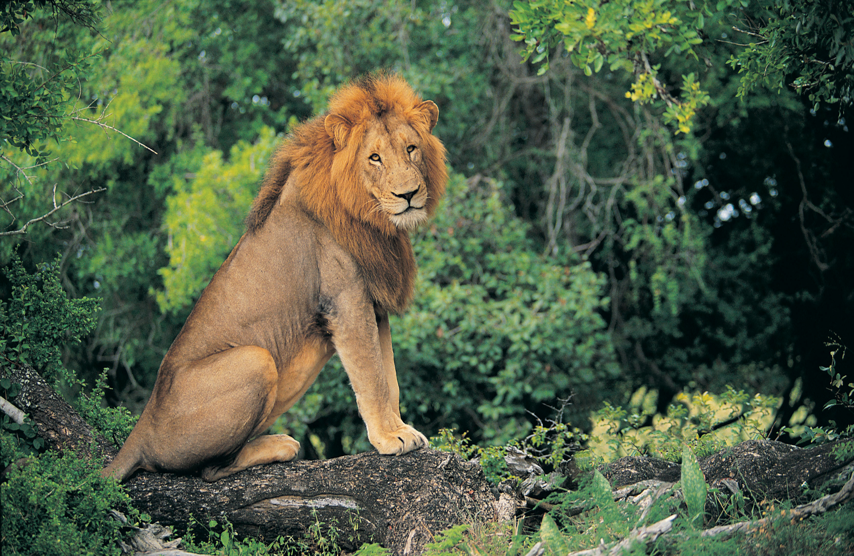 Where Do Lions Shelter in the Wild? | Sciencing