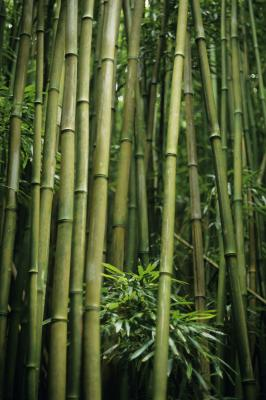 Fast Growing Clumping Bamboo Home Guides Sf Gate