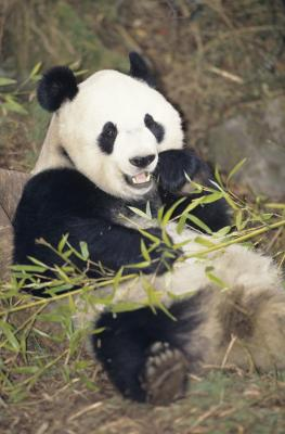 how long does a panda live