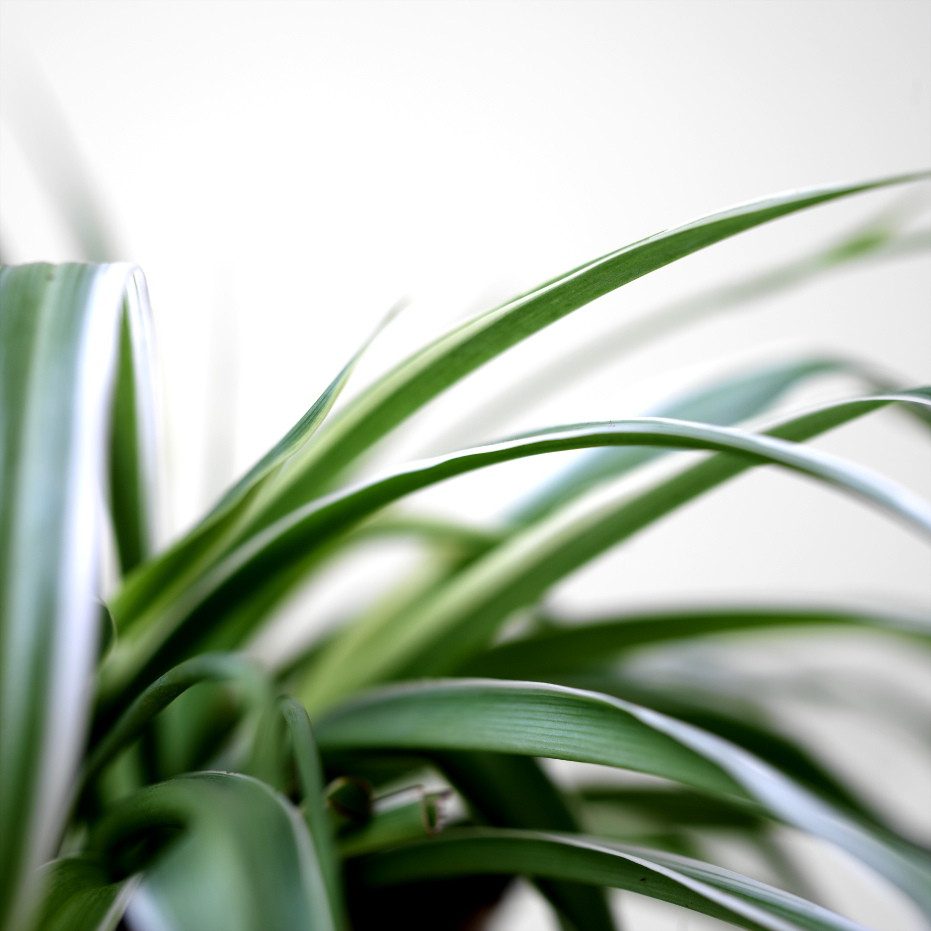 Spiderplant Care: How To Rejuvinate A Spider Plant