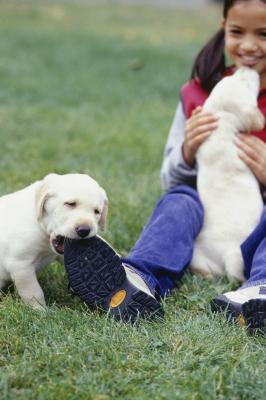 Shoes and shoelaces typically fascinate puppies.