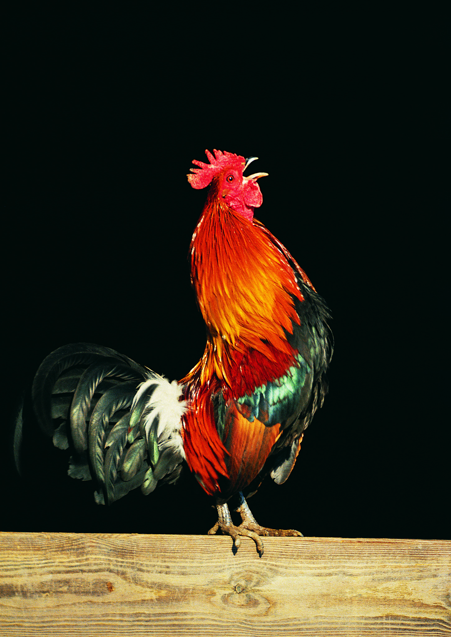 Changes in the Color of a Rooster's Comb | Animals - mom.me