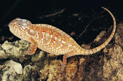 How to Tell Your Chameleon's Gender | Animals - mom.me