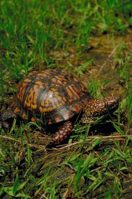 How Long Do Pet Turtles Live : How Long Does It Take a Box Turtle to Become an Adult? Animals - mom ...
