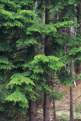 How Big Can A Hemlock Tree Grow Home Guides Sf Gate