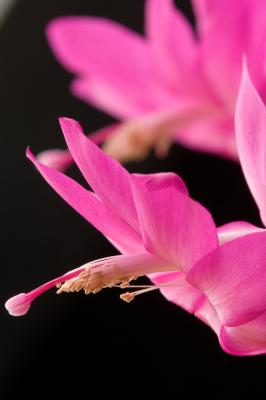 How to Repot a Christmas Cactus if Is Pot Bound | Home Guides | SF ...