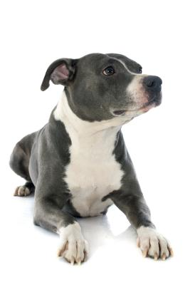 ... Pitbull Terriers & American Staffordshire Terriers? | Dog Care - The