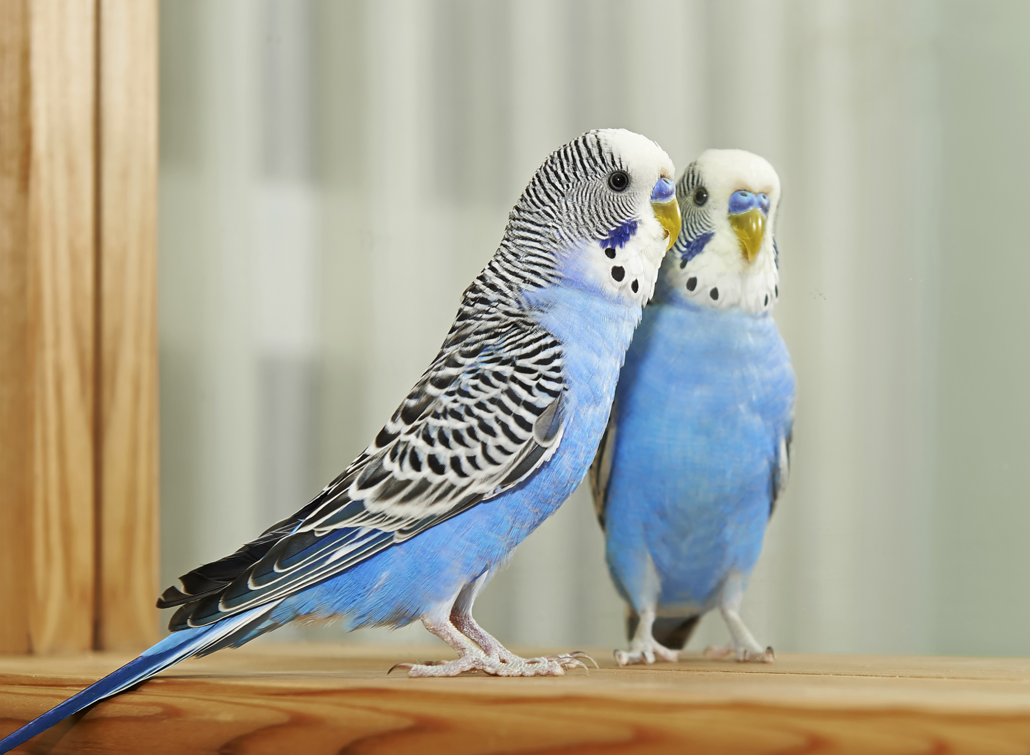 Signs of Parakeet Molting | Cuteness
