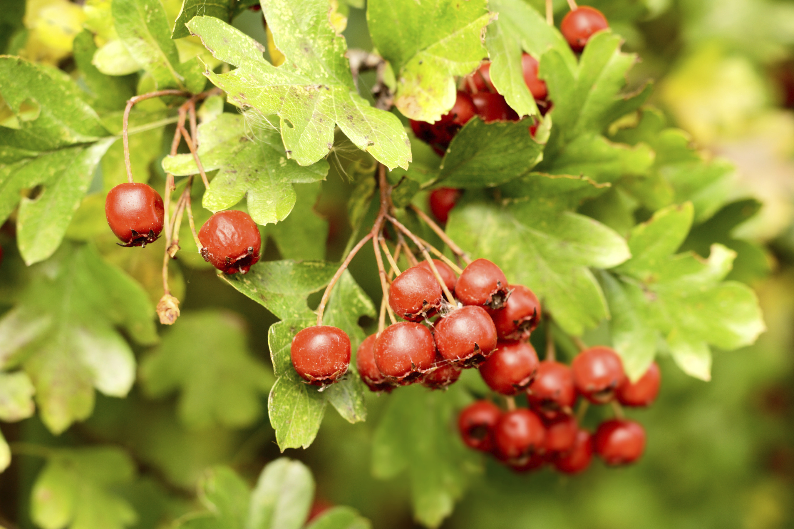 Hawthorn: useful properties and contraindications. Hawthorn: medicinal properties, recipes for use 90