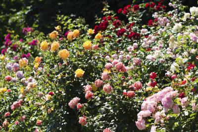 Tuin rozen kopen