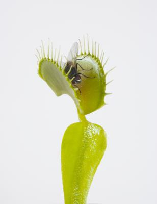 How to label the parts of a venus flytrap ccuart Choice Image