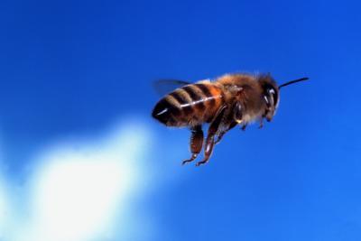 Bees Flies On Juniper Bush Home Guides Sf Gate