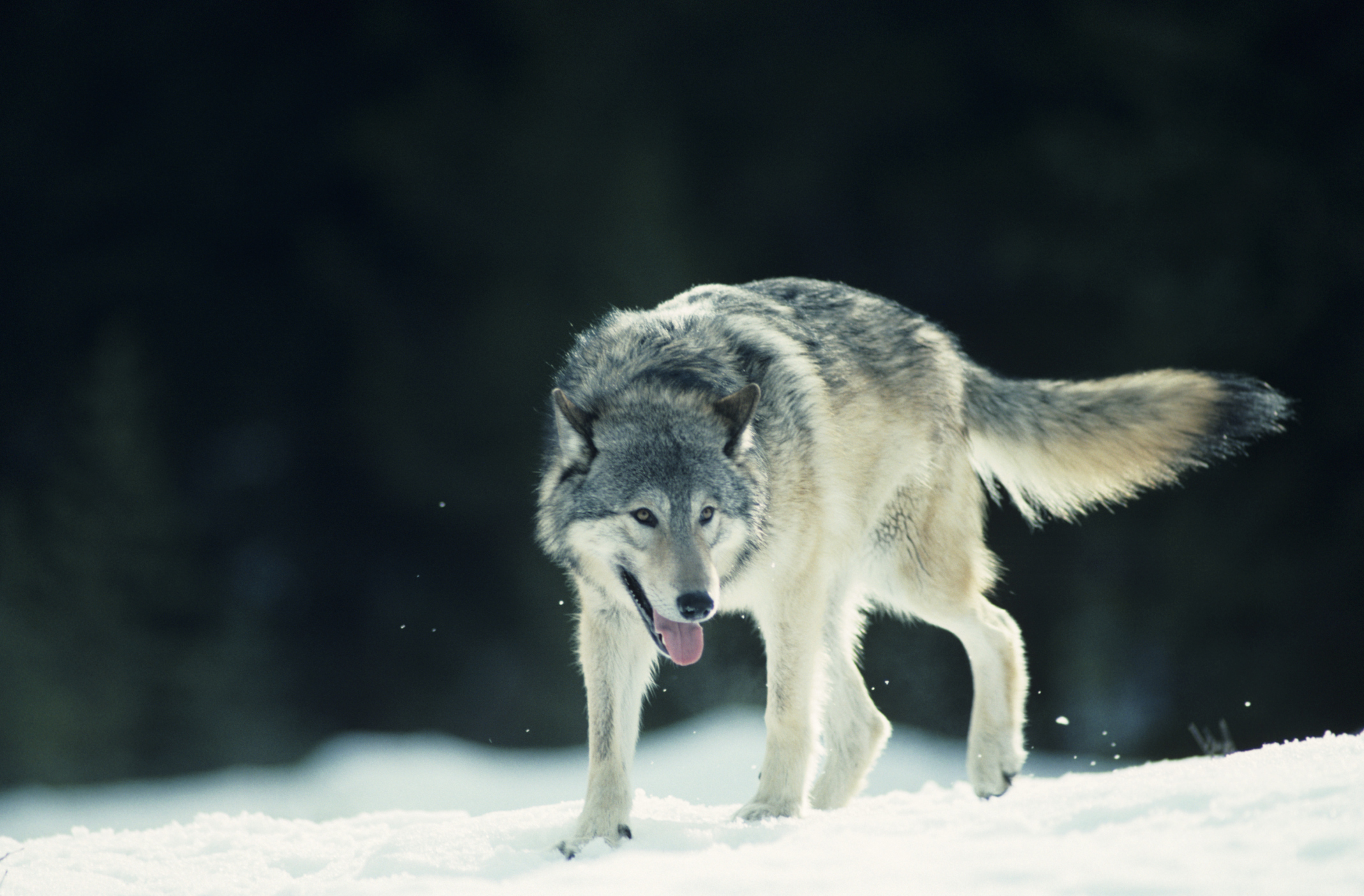 What Adaptations Do Wolves Have Sciencing