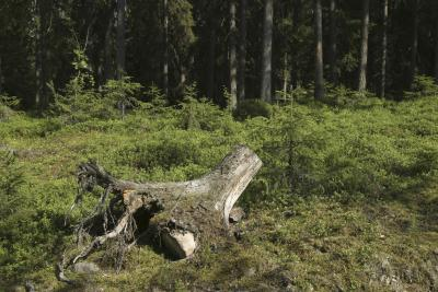 how to kill roots of a tree stump