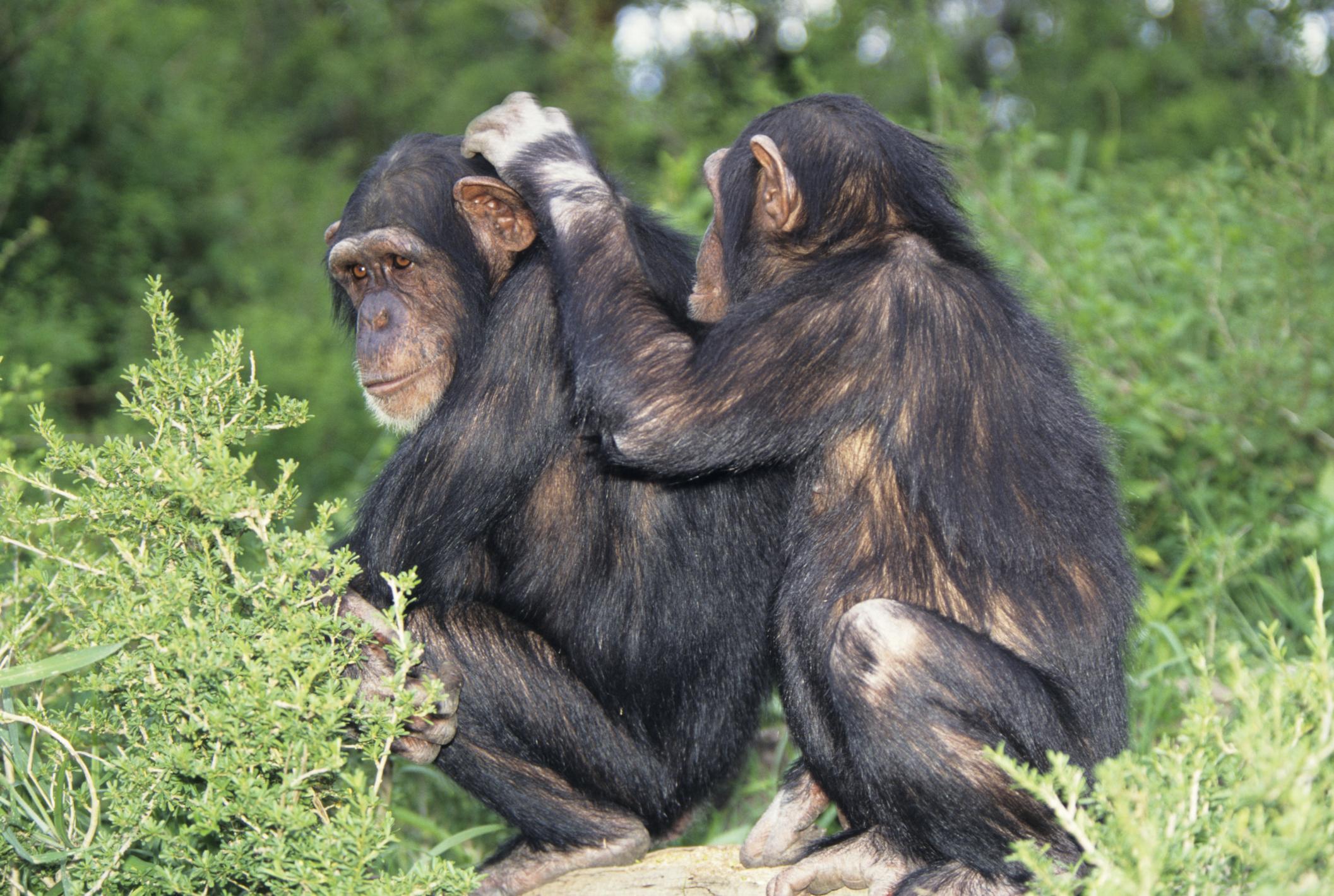 Chimpanzee Mating Habits | Sciencing